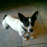 Jack Russell Terrier Luzzy